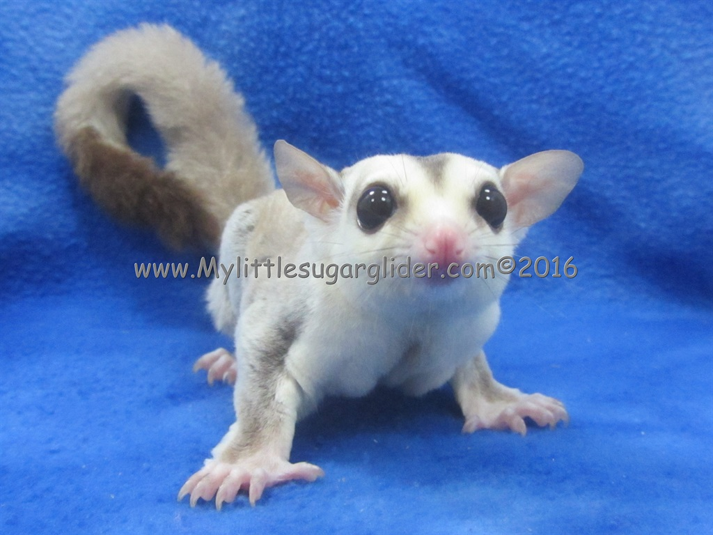 Color Examples My Little Sugar Glider